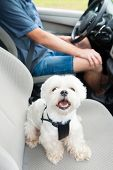 Small dog maltese in a car with open window and his owner in a background. Dog wears a special dog c poster