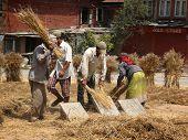 Threshing Grain By Hand