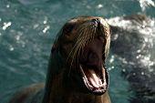 Leão-marinho