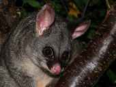 picture of possum  - An inquisitive Australian brush tailed possum peering down from his tree - JPG