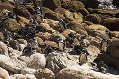 Jackass Pinguine (Demersus Spheniscus)