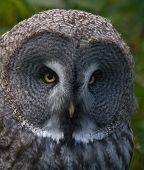 Great grey owl.