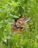 stock photo of tall grass  - Whitetail deer fawn resting in tall grass - JPG