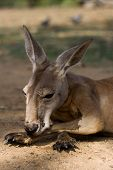 Thoughtful Kangaroo