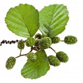 alder leaves with green cones isolated on white