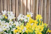 Beautiful Big Size Yellow Narcissus, Spring Flower Growing In Europe Garden Nature With Yellow Petal poster