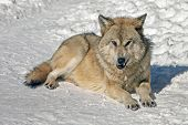 A Wolf In The Wild In Winter, The Sight Of A Wolf With A Predatory Grin poster