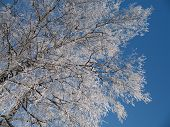 The Birches Obtected With Hoar-Frost By A Sunny Day poster