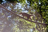 picture of coatimundi  - coati jumping from branch to branch in a zoo