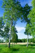 Birch Trees At Lake Side In June