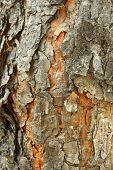 Pine-tree Bark Texture