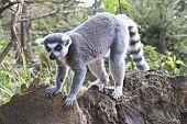 Lemur Exploring Along A Branch
