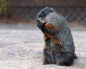 pic of groundhog  - A groundhog sitting on baren ground feeding himself - JPG