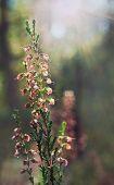 stock photo of ling  - Calluna vulgaris  - JPG