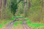 A Forest Road In A Pine Forest. An Unpaved Forest Road. Deep Ruts. In The Middle, Green Grass Betwee poster