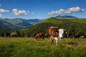Cattle On A Mountain Pasture. Summer Sunny Day. Cow In Pasture. Mountain Meadow. Green Meadow In Mou poster