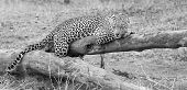 Leopard Resting On A Fallen Tree Log To Rest After Hunting Artistic Conversion poster
