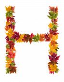 The letter H made from autumn maple tree leaves