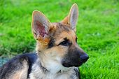 foto of seeing eye dog  - A German Shepard puppy looks off camera to the right as he enjoys laying in the grass - JPG