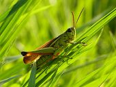 grasshopper on the grass