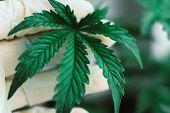 Hand Of Medical Worker And Plant And Leaves Of Cannabis Macro Plant Medical Marijuana Marijuana Leav poster