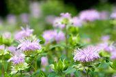 Bergamot mint flower