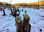 An Interesting View Of Tree Stumps Caused From Beavers Chewing Down Trees In A Beautiful Forest Sett poster