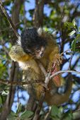 Sleeping Squirrel Monkey