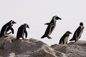 picture of jackass  - African penguins on rock one jumping across against white background - JPG