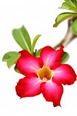 Desert rose flower closeup