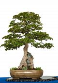 foto of trident  - White isolated old trident maple as bonsai tree is growing over a rock - JPG