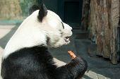 the big panda