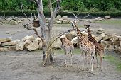 small herd of giraffe