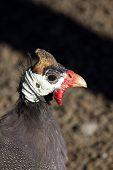 Numida meleagris, pollo de Angola