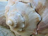 Seashell Closeup