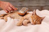 Young ginger kitten enjoy fur brushing by owner - lying on fluffy white blanket poster