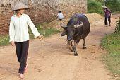 Vietnamese Woman walking water buffalo