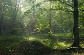 Summer Morning With Mist And Light In Forest