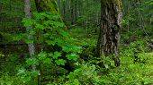 Juvenile Maple Tree Against Old Moss Wrapped Trunks