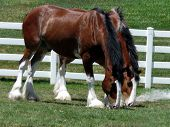 picture of clydesdale  - Majestic Clydesdales munching together on some field grass - JPG