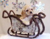Cocker Spaniel Puppy In Sleigh