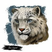 Snow Leopard Portrait In Close Up. Watercolor Digital Art Illustration Of Panthera Uncia. Mammal Wit poster