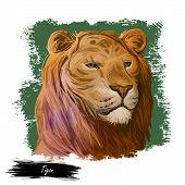 Tigon Animal Watercolor Portrait In Closeup. Animalistic Drawing Of Tigon, Hybrid Mammal. Wild Car O poster