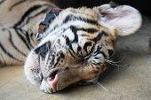 Sleeping Tiger Cub