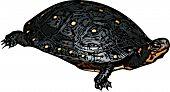 Spotted Turtle Illustration