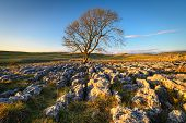 Lone Ash Tree In Limestone Pavement, Above Malham Village In The Yorkshire Dales Where There Is An A poster