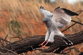 The Southern Pale Chanting Goshawk (melierax Canorus) Landing On The Branch And Watching Around. The poster