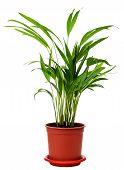 houseplant Areca