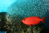 Common Bigeye Fish and Shoal of Glassfish next to a coral reef