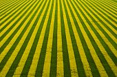 Yellow-green Field With Blooming Rapeseed. Field Top View Background poster